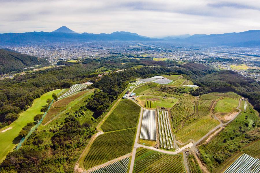 サントリー 登美の丘 ブドウ畑